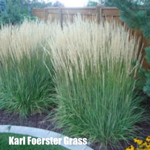 Karl Foerster Grass - 2-gallon pot