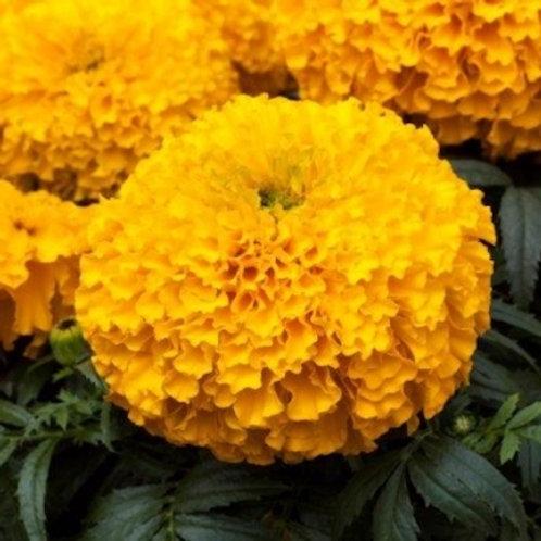 Marigold - Big Top Gold