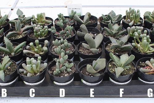 Haworthia Plants - 4-inch pots (A-F)