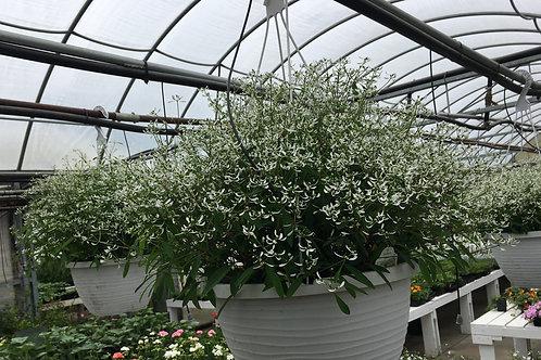 Euphorbia 12-inch Hanging Baskets
