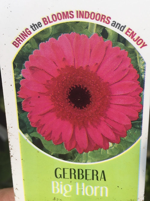 Gerbera Daisy - Big Horn
