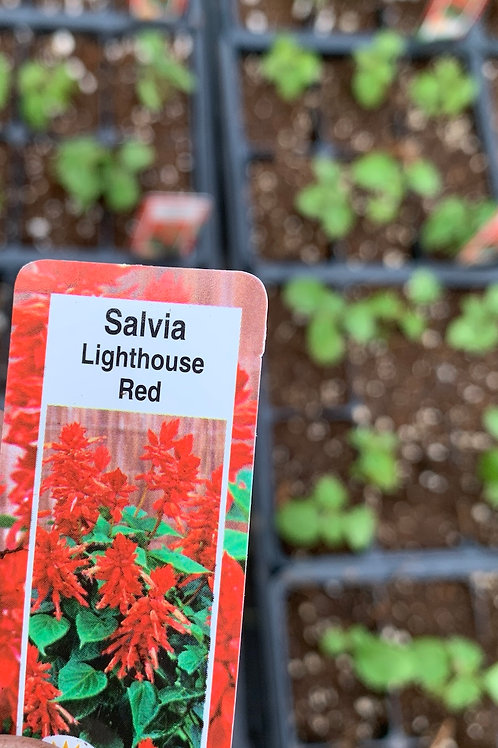Salvia - Lighthouse