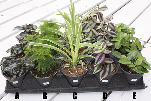 Assorted 4-inch Tropicals