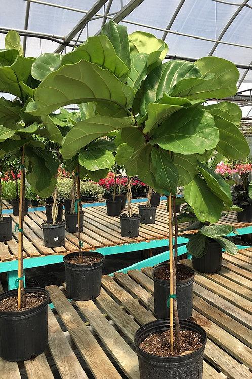 Ficus Lyrata  (Fiddle Leaf Fig) Standard