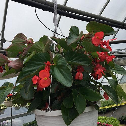 Begonia 12-inch Hanging Baskets