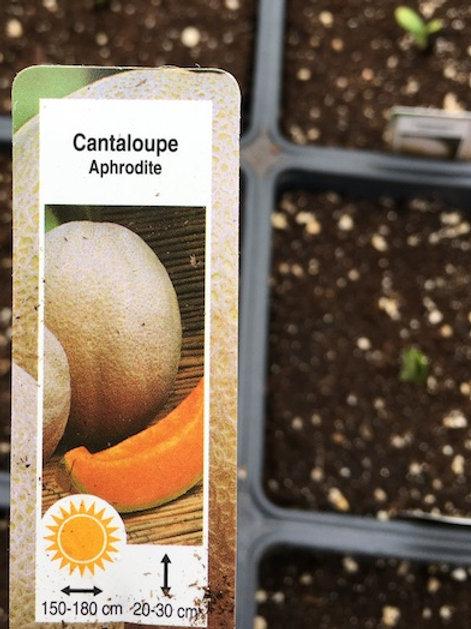 Cantaloupe and Watermelon - 4.5-inch pot