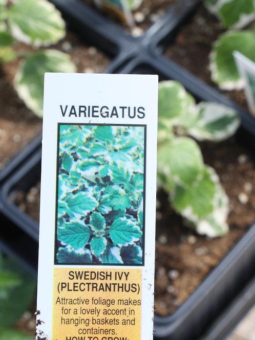 Swedish Ivy - Variegatus