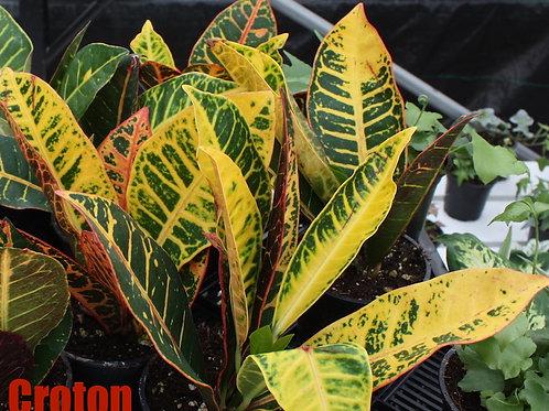 Assorted 4-inch Tropicals