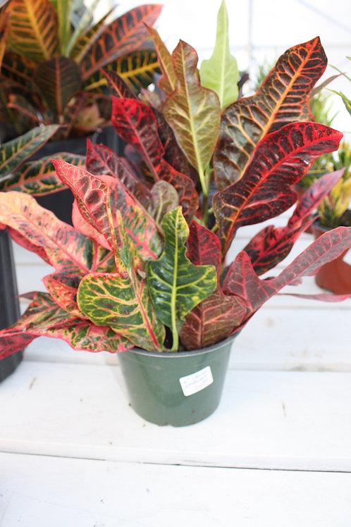 Croton - Excellent - 6-inch pot