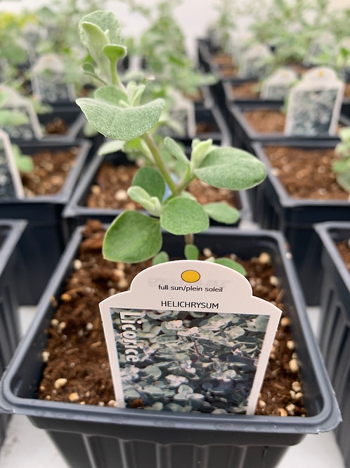 Helichrysum (Licorice Plant)
