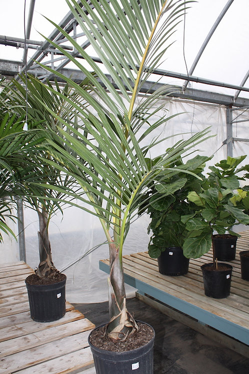 Spindle Palm - 12-inch pot