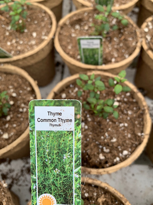 Common Thyme - 4-inch eco-friendly pot