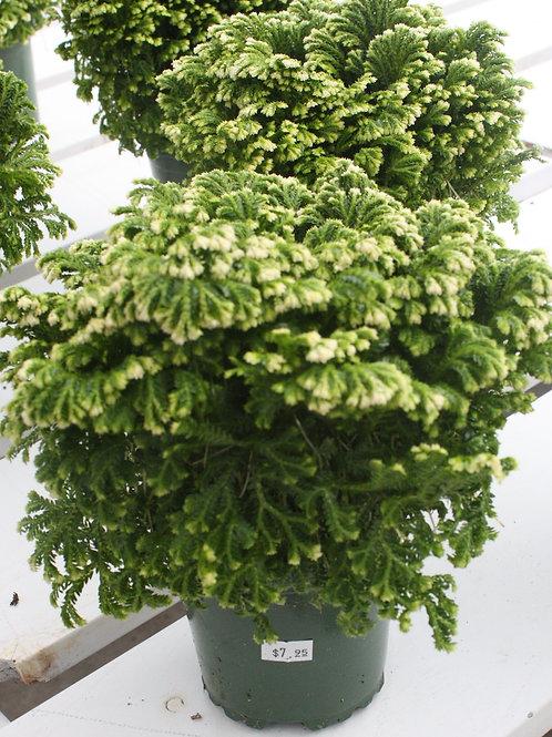 Christmas Fern - 4-inch pot