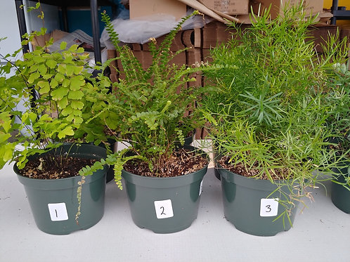 6-inch Ferns 1-3