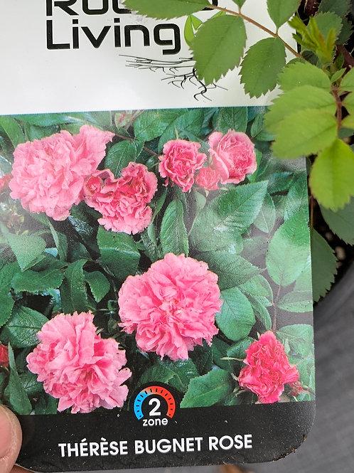 Hardy Roses - 2-gal
