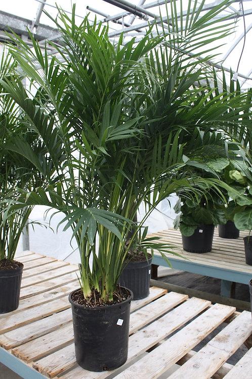 Palm Cataractarum - 12-inch