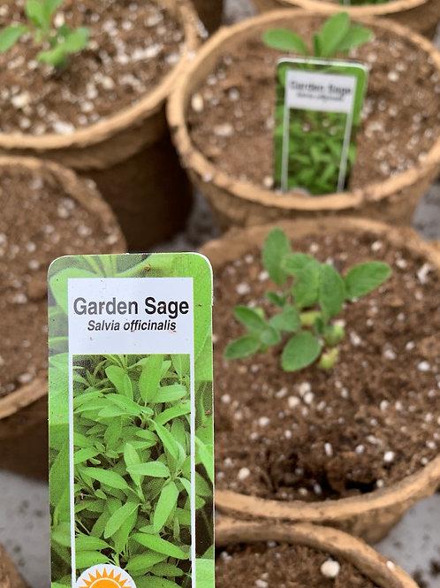 Garden Sage - 4-inch eco-friendly pot