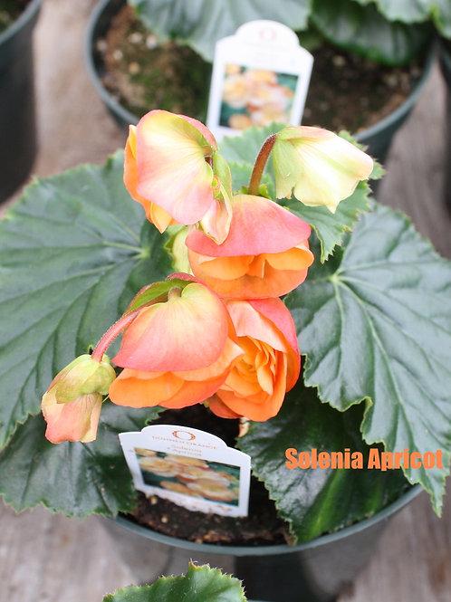 Begonia - Solenia varieties