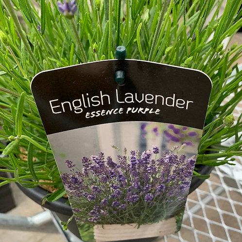 Lavender - 10-inch pot