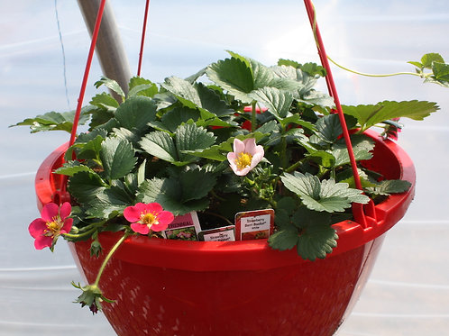Strawberry Hanging Baskets - 12-inch
