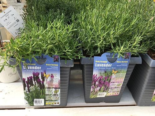 Lavender - 2-gallon pot