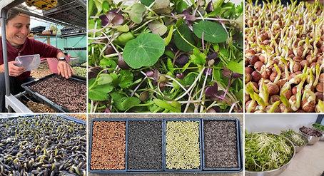 Grow your own Microgreens