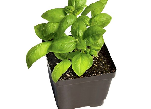 Basil Plant (Sweet Genovese)