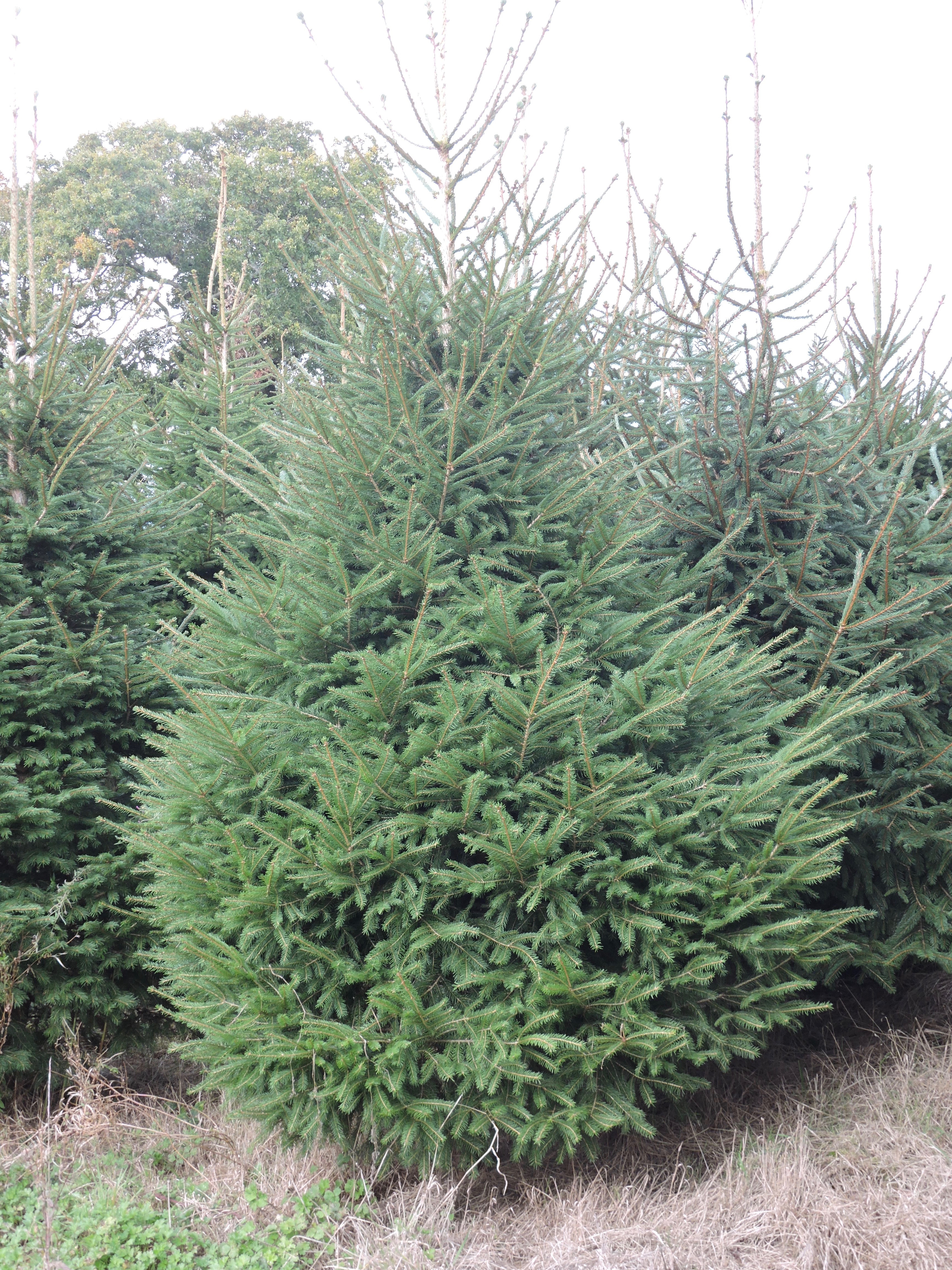 Goffin's Christmas tree (5-8ft)