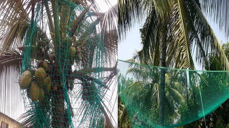 coconut .jpg