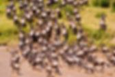 Wildebeest_2785.jpg
