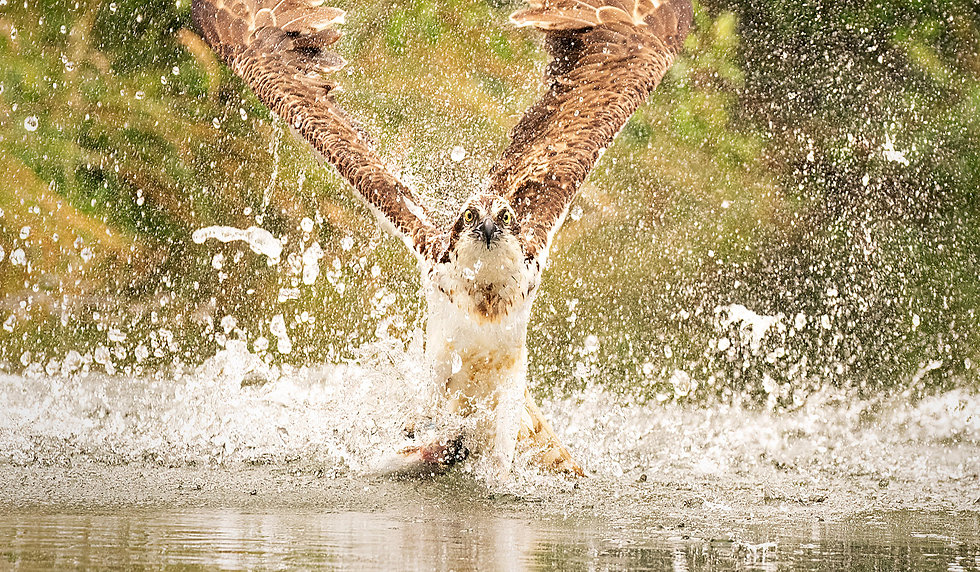 wildife_photography_workshops_england_osprey.jpg