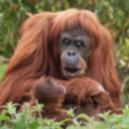 Wildlife_Photography_Course_Orangutan.jp