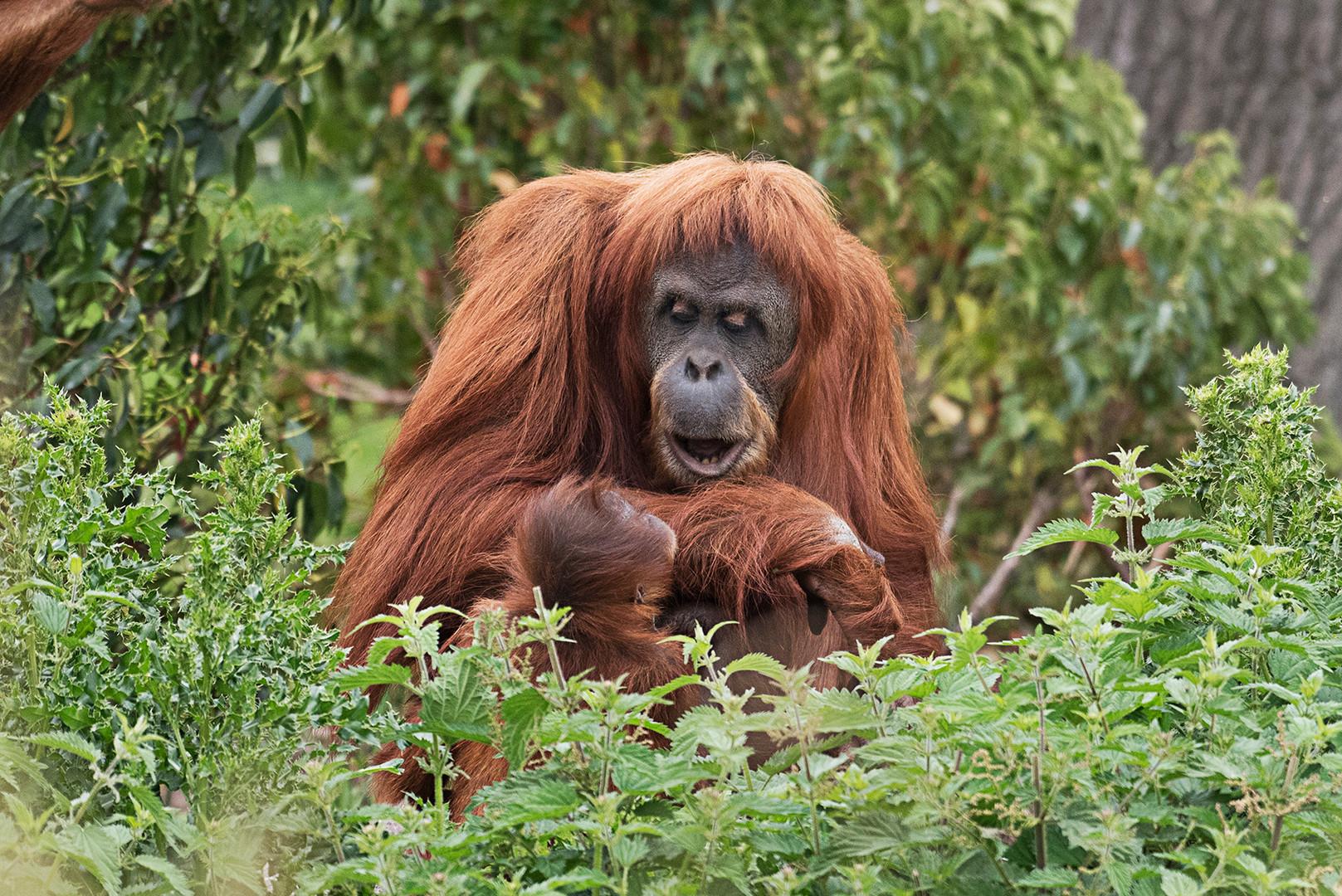 Wildlife_Photography_Course_Orangutan.jp