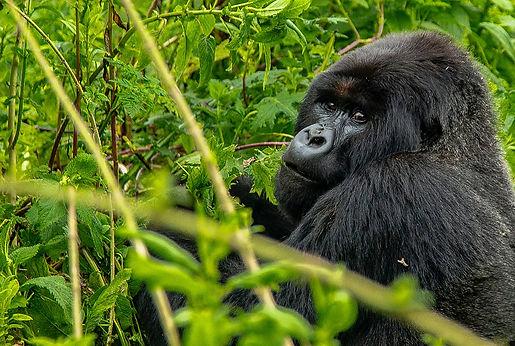 Gorilla_simbi-yvan-Gorilla-unsplash.jpg