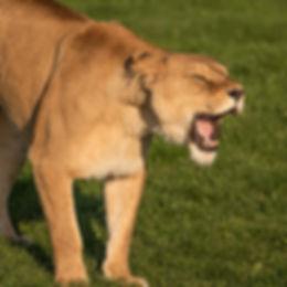SafariSinclair_Lioness_PhotographyCourse
