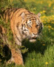 Rachel_Sinclair_Tiger_AnimalPhotography_