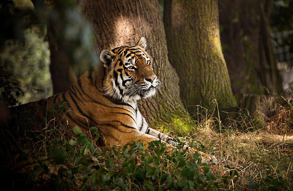 TigerYWP.jpg