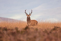 Wildlife_Photography_Course_Stag2.jpg