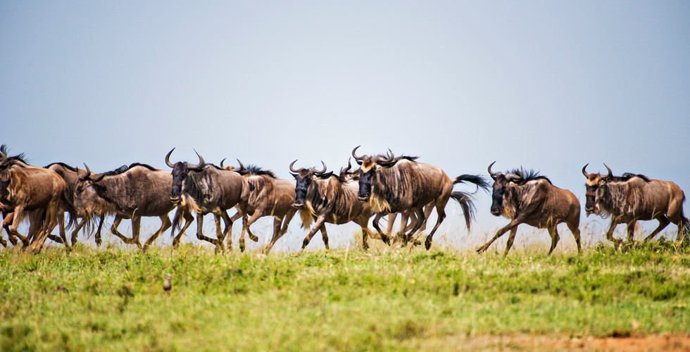 Wildebeest_2025.jpg