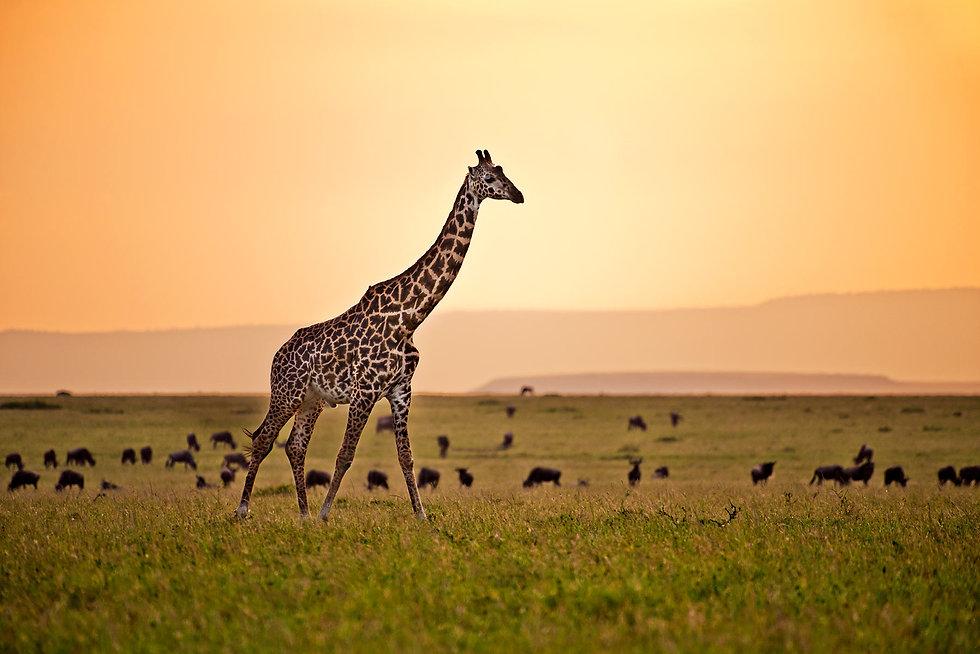 MaasaiGiraffe_5122.jpg