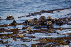 Sea Otters floating around