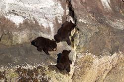 Climbing Black Bear Cubs