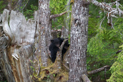 Black Bear Cubs up in Tree