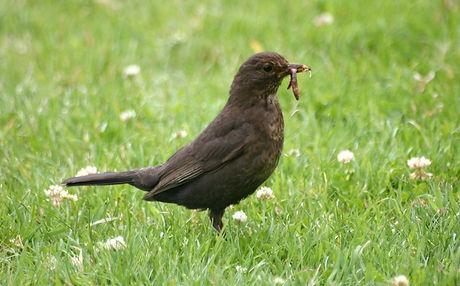 Earl bird catching worm.jpg