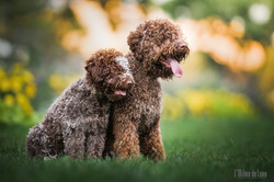 lagotto romagnolo puppies (16weeks&10months)