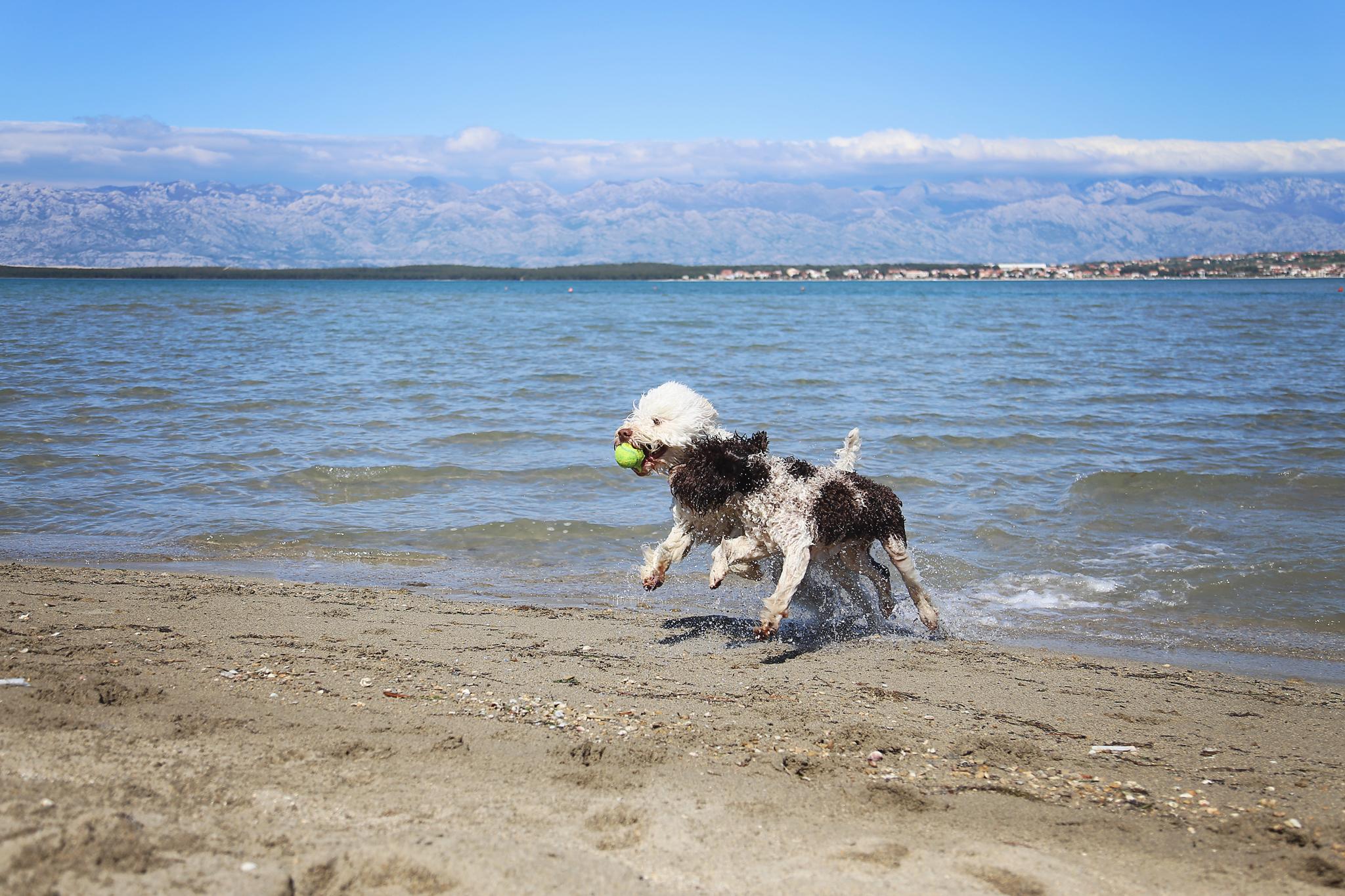 Italian waterdogs