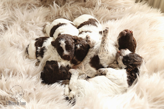 Tuscany litter 2weeks old