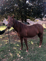 Jack Kee Two Watch 15yo Chestnut Mare.jp