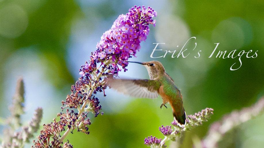 Hummingbird Takes a Sip