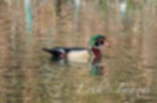 Mr. Wood Duck